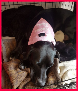 Photo of black dog asleep, wearing a pink collar bandana with a body magnet attached